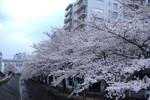 ベストライフ多摩センター(介護付有料老人ホーム)の画像(17)乞田川 桜並木