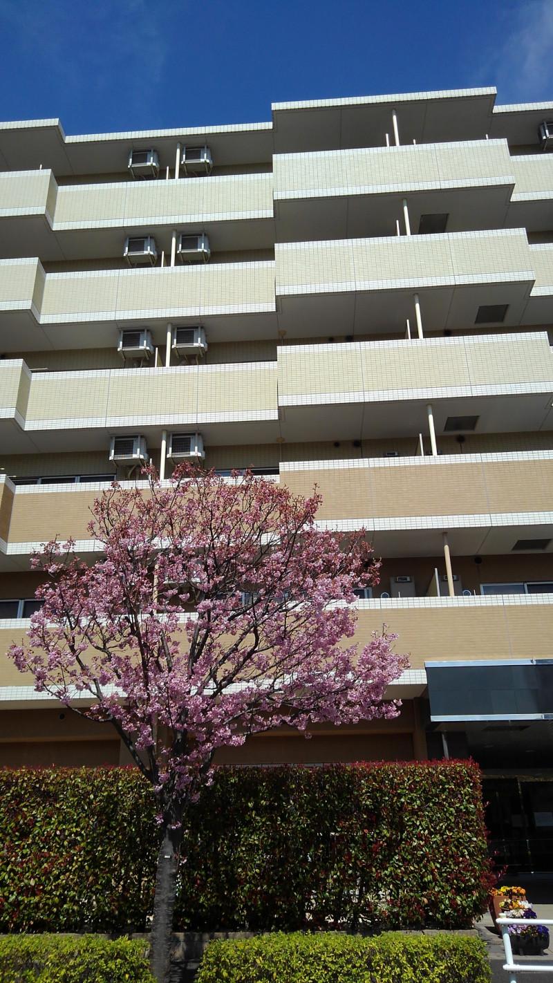 ヴェルジェ新横浜Ⅲ なしの郷(サービス付き高齢者向け住宅)の画像(1)目の前は桜通り